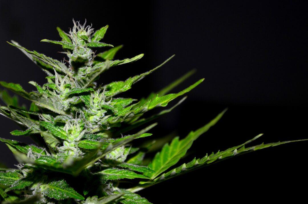 Usos terapéuticos de la marihuana